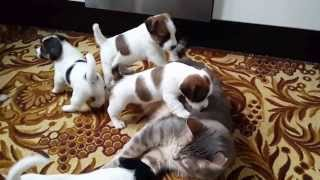 Jack Russell Puppies playing with cat - YouTube