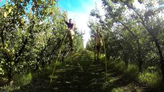Shepparton Australia  city pictures gallery : Fruit picking, Shepparton, Australia - Pears and Apples Picking - GOPRO