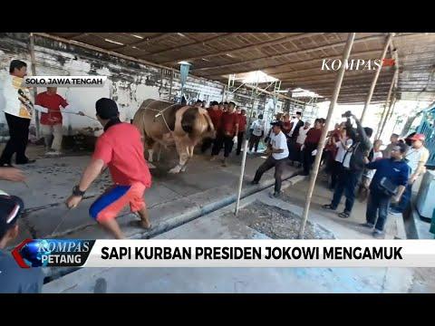 Detik-detik Sapi Kurban Presiden Jokowi Mengamuk