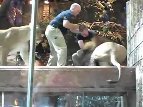 Leona intenta detener ataque de león a empleado de zoológico