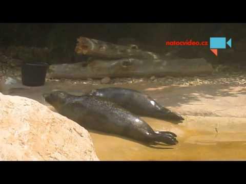 Krmení tuleňů v jihlavské zoo 3.8.2015