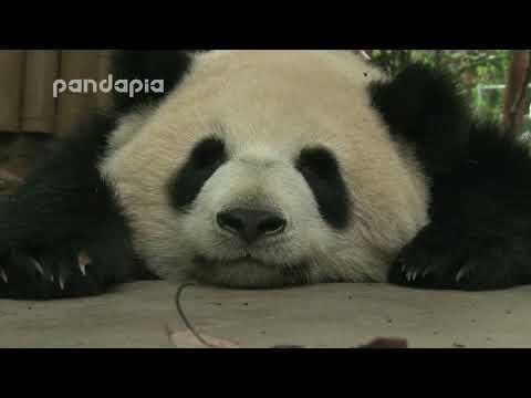 sleeping panda face