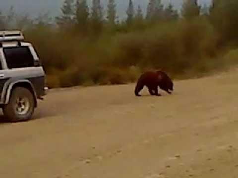 Медведь занимается рэкетом на Колыме (Магадан) (видео)