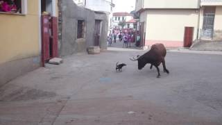 Video Chihuahua vs toro MP3, 3GP, MP4, WEBM, AVI, FLV November 2017
