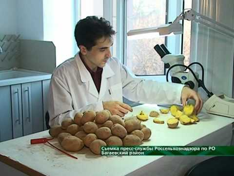 Проверка семенного материала в багаевском районе