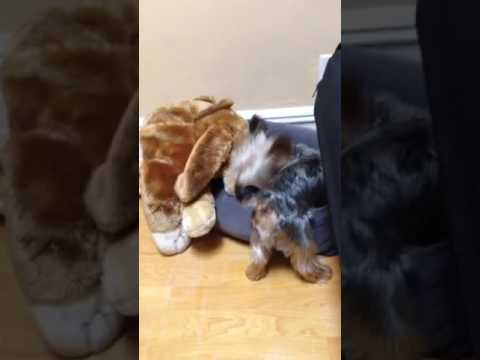 Yorkie humping his giant Peluche ❤🐾