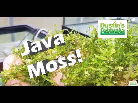 How to grow Aquarium Moss: Java Moss, Taiwan Moss Species Sunday