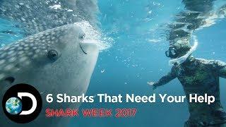 They may be fearless and the kings of the ocean, but some sharks are on the verge of extinction. Don't miss #SharkWeek from 24...