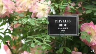 #714 Chelsea Flower Show 2012 - Rambler am Stand von Peter Beales