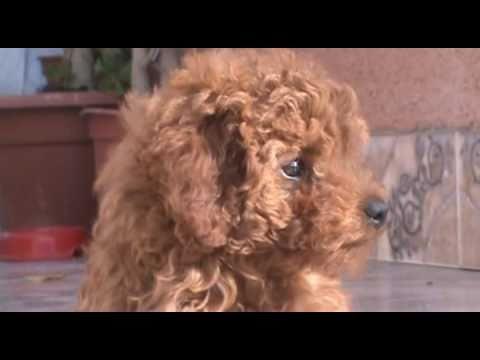 PERRA POODLE BAILANDO DOG DANCING - FUNNY ANIMAL BLOOPERS - DOG VERY NICE PERRO SIMPÁTICO ...
