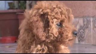 PERRA POODLE BAILANDO DOG DANCING - FUNNY ANIMAL BLOOPERS - DOG VERY NICE PERRO SIMPÁTICO BAILARÍN