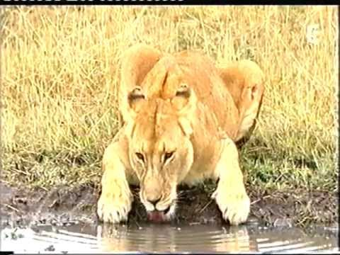 Documentaire animalier : Lions / Guepards