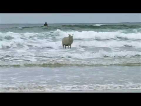 La oveja surfista