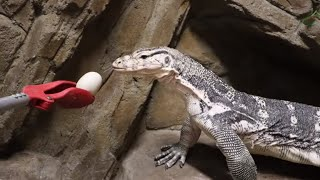 EXTREME Reptiles from Baby to Giants! by Prehistoric Pets TV
