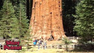 Video Inilah Pohon Raksasa Terbesar di Bumi yang Bikin Takjub MP3, 3GP, MP4, WEBM, AVI, FLV Februari 2019