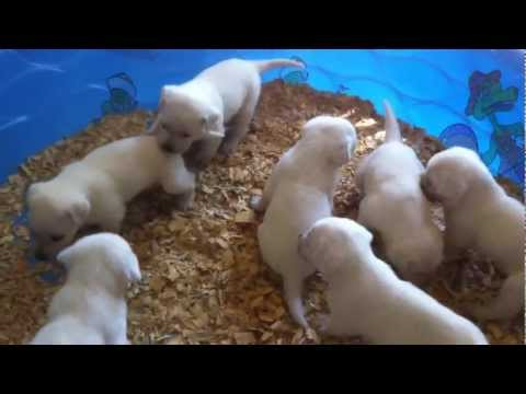 Akc polar white labrador puppies