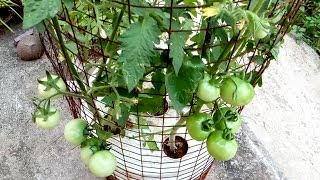 Video Tomato grow in a self watering tree pot on the roof MP3, 3GP, MP4, WEBM, AVI, FLV Maret 2019