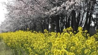 秋田県 千秋公園 (久保田城) と八郎潟・桜と菜の花ロード – がんばれ東北!