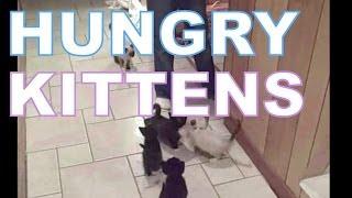 Kitten climbs for food