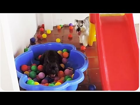 Watch How This Dog Reacts When He Sees A Ball Pit For The First Time