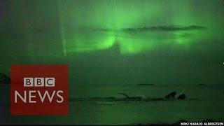 Des baleines se donnent en spectacle sous les aurores boréales.