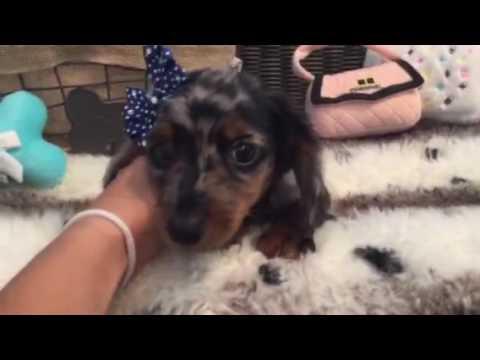 Simply adorable, silver dapple Mini Dachshund pup!