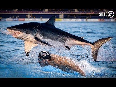Tiburón blanco derrota a Michael Phelps