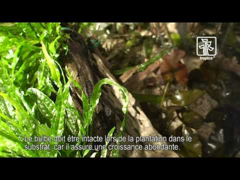 Video plantation bacs plant s crevettes aquarium 42 for Catalogue plantation