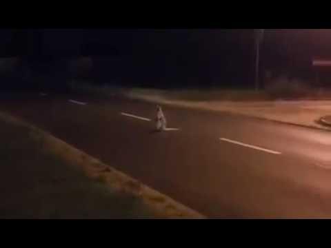 Toruń: Nocne harce kangura w okolicach Castoramy