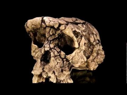 Toumai skull: ape-man, or just ape?
