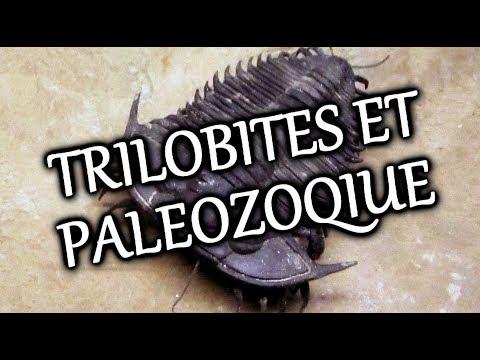 TRILOBITE CARBONIFERE DE BELGIQUE