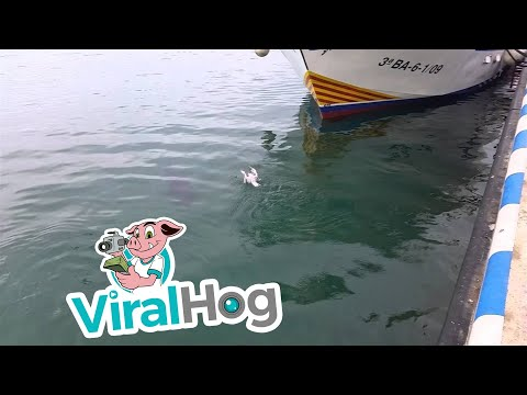 A Huge Fish Eats a Seagull, Then Spits It Back Out