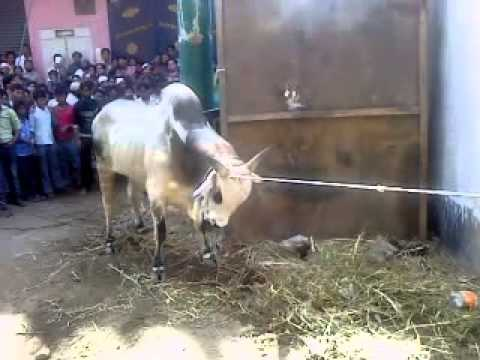 qurbani2 - video uploaded from india.
