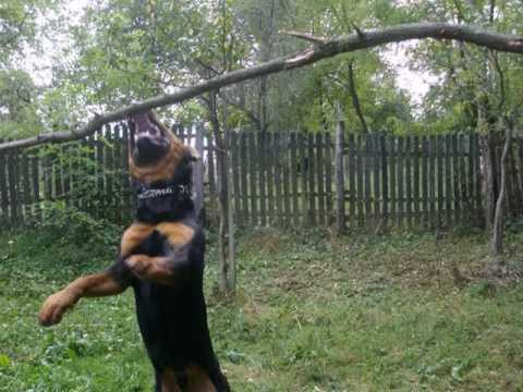 This is One Tough Rottweiler