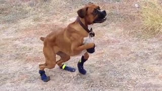 Funny Dogs In Boots For The First Time Compilation!