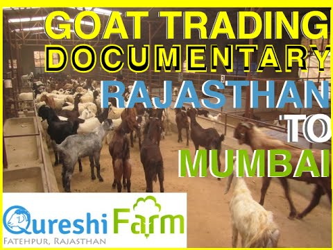 rajasthan goat farming - This video is about the Importance of Eid sacrifice in Islam, guidlines for selection of Qurbani, the experience a trader goes tru in conducting the business...