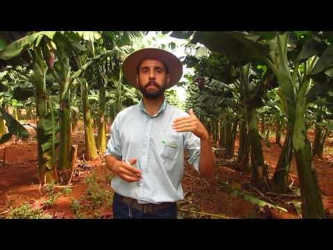 Adubação Líquida Fertec em Bananeira Prata Delfinópolis MG