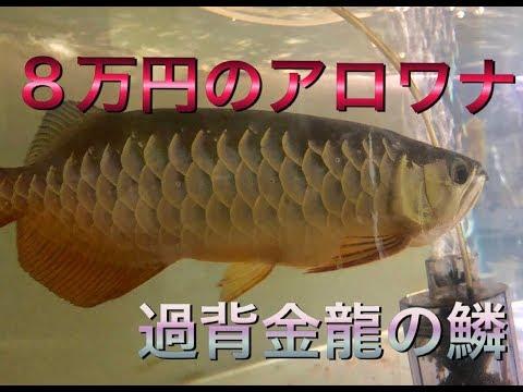 アロワナ水槽   8万の過背金龍の鱗見てみる!  過去飼育魚の話