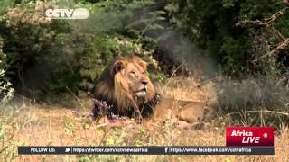 Ethiopia's Iconic Black-Maned Lions Face Extinction