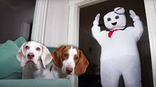 Dogs vs Mini & GIANT Marshmallow Puft Man: Funny Dog & Dancing Marshmallow Man Prank by Maymo