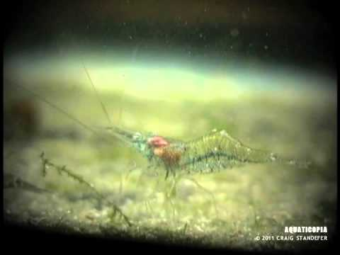 how to care ghost shrimp