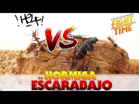 HORMIGAS VS ESCARABAJO  Hormigas Cataglyphis velox