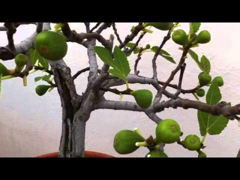 C mo deshojar bons is y crear hojas m s peque as www - Como se cuida un bonsai ...
