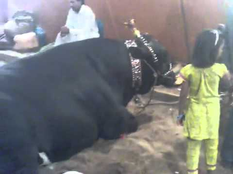25 lacs couple cow.flv