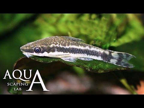 acquariofilia - otocinclus