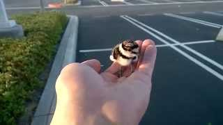 Rescued baby bird returned to parents.