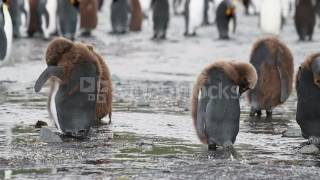 KING PENGUIN COLONY WITH CHICKS IN ANTARCTICA 4YKYE7VJL