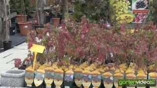 #1383 Herbstfärbung von Redloves und Vierbeeren