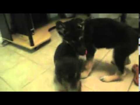 Adorable Rottweiler girl W/ POTTY TRAINING!