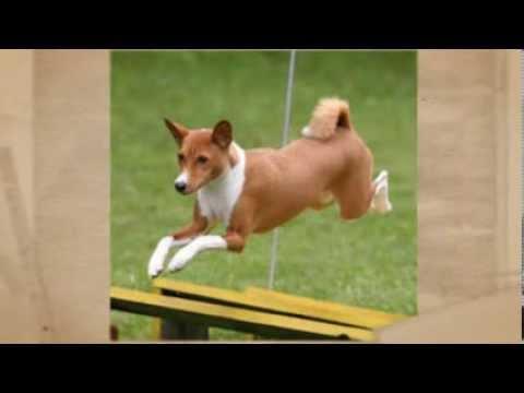 Raza Basenji – Como Adiestrar Perros de Raza Basenji